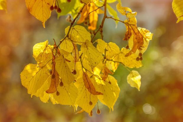 пожелтевшие осенью березовые листья