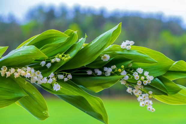 веточка белых ландышей с блестящими зелеными листьями
