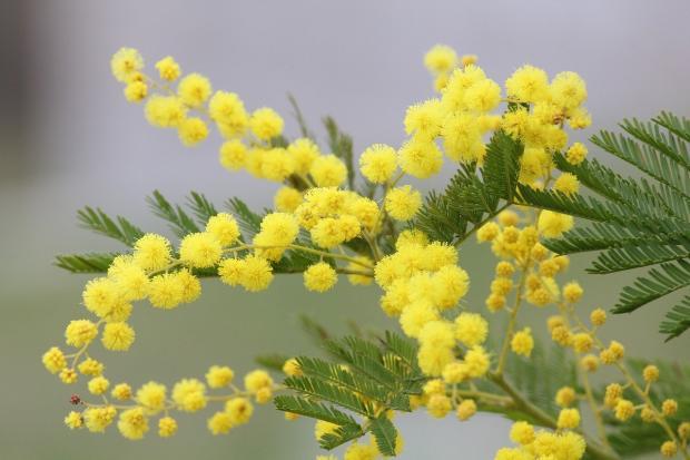 веточка ярко-желтой мимозы