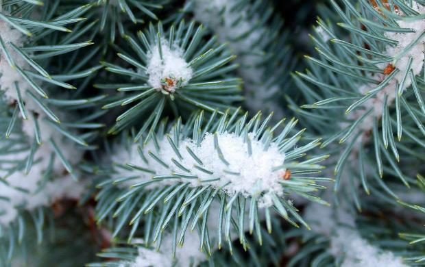 заснеженные ветки лесной сосны