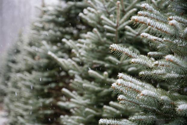 Еловые ветки в снегу