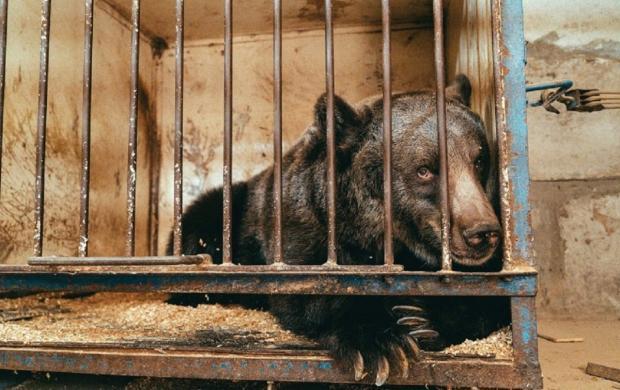 Медведица Джамболина