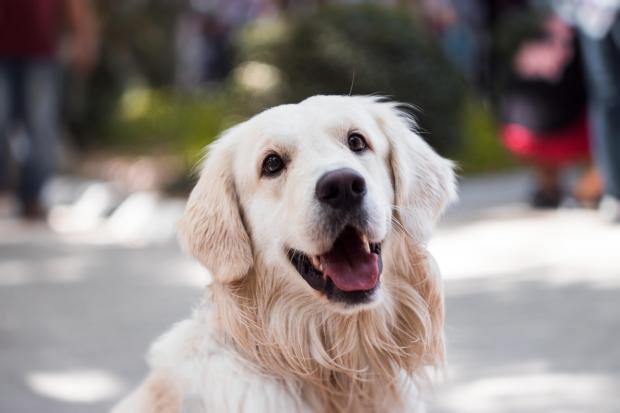 Пушистый пес со светлой шерстью