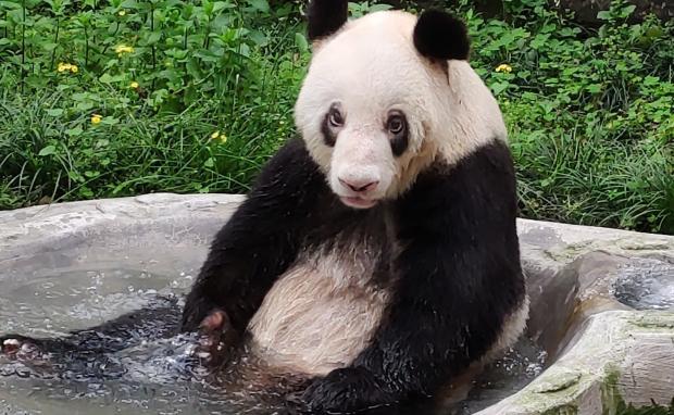 Панда в искусственном бассейне