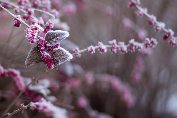 Веточки с ягодками в снегу