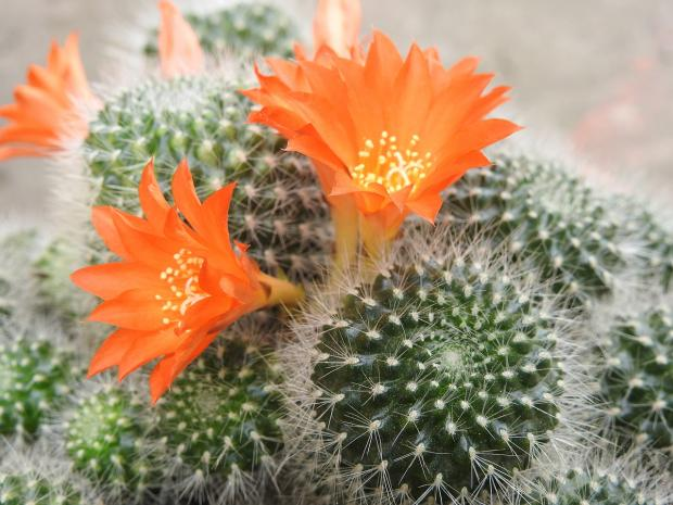 кактус цветет оранжевыми цветами