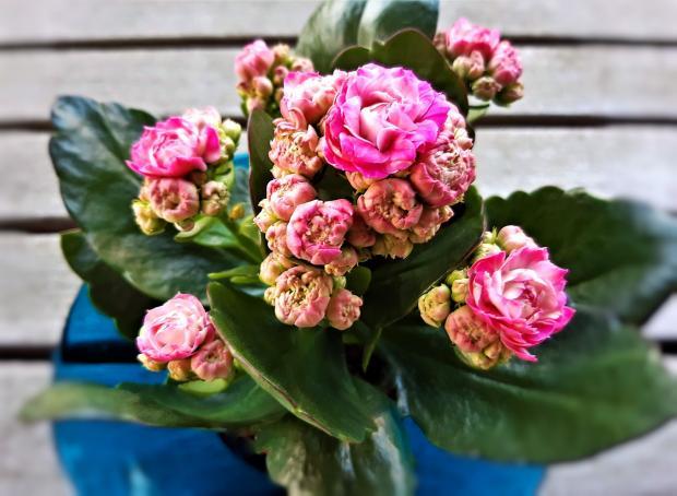 домашнее растение - каланхоэ