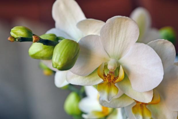 цветет белая орхидея