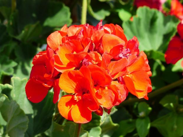 красно-оранжевые комнатные цветы