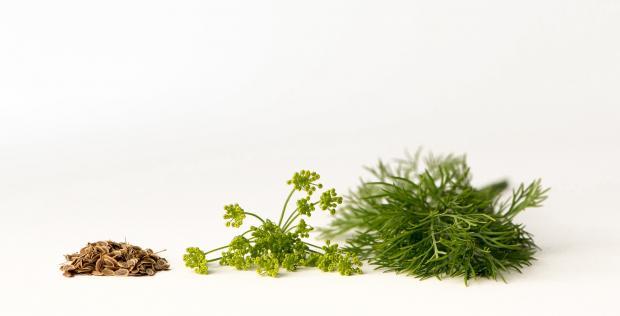 пучок свежего укропа, зонтик с семенами, семена