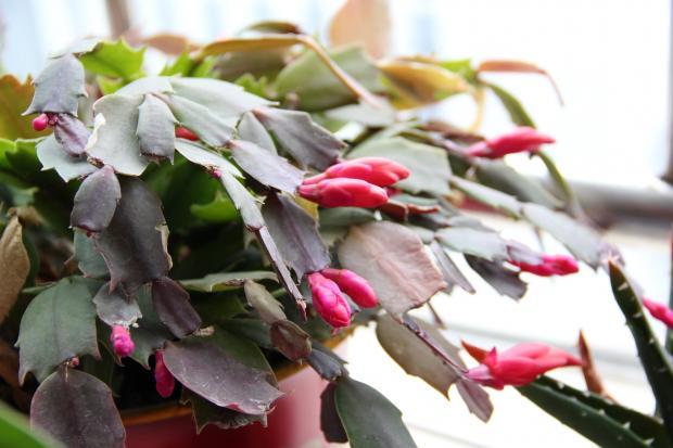 декабрист с бутонами цветов