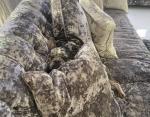 Пес между подушками дивана