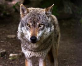 В Канаде нашли мумию самого старого в мире волка жившего около 57 000 лет назад