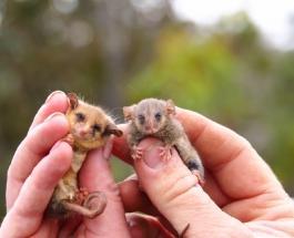 Популяцию карликовых опоссумов удалось восстановить в Австралии после лесных пожаров