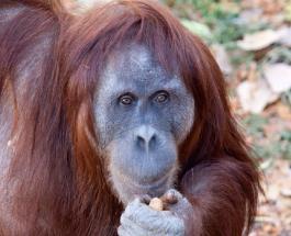 """Самец орангутанга заботится о детеныше после смерти самки: трогательная история """"отца-одиночки"""""""