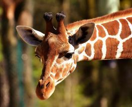 Впервые в мире: ученые обнаружили карликовых жирафов ростом менее 3 метров