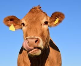 Операция по спасению коровы упавшей в 4-метровую яму прошла в Швеции