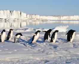 Почему пингвины не летают и что они едят: 10 интересных фактов о водоплавающих птицах