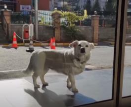 Трогательное видео из Турции: собака 6 дней ждала под больницей выписки хозяина