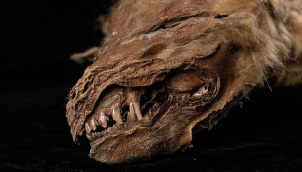 мумия волчонка