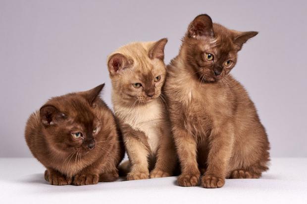 рядом сидят три красивых шоколадных котенка