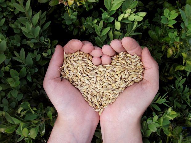 зерно пшеницы в ладонях