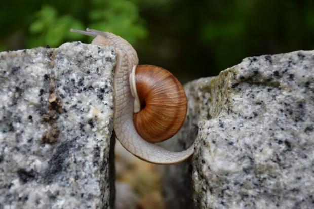 улитка переползающая с камня на камень