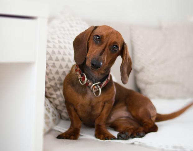 коричневая такса на белом диване