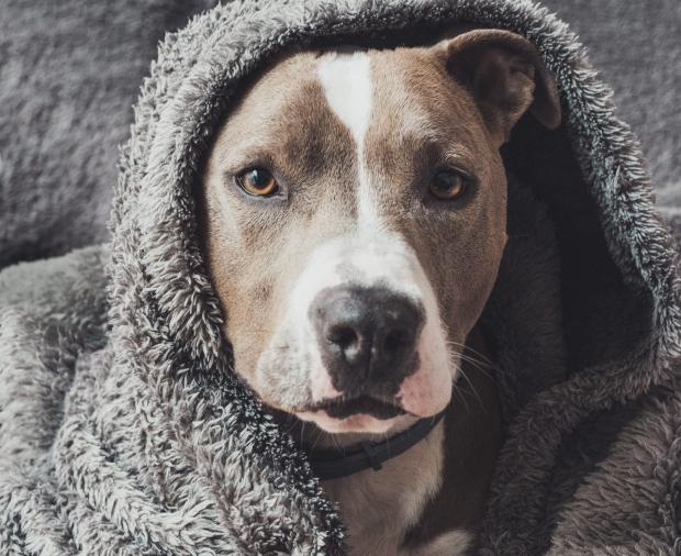 Собака в сером полотенце