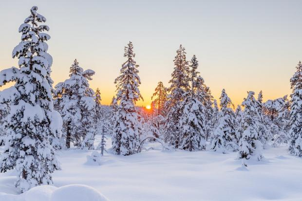 хвойный лес в снегу