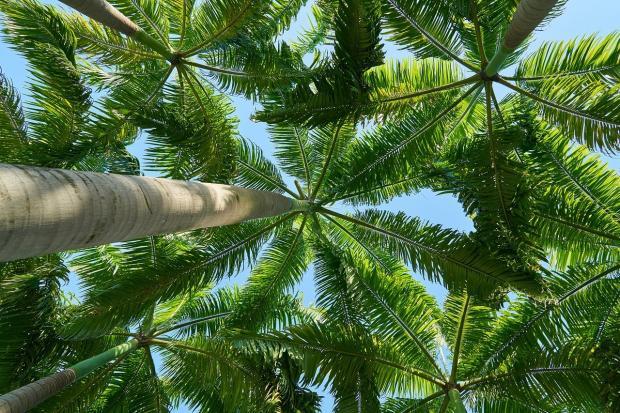 растущие пальмы устремились к небу