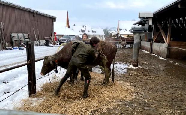 спасение коровы