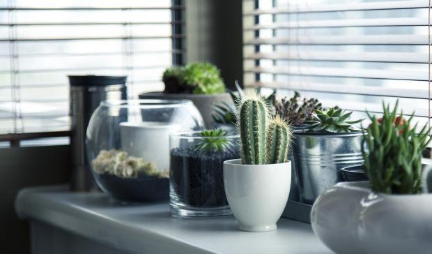 комнатное растение кактус