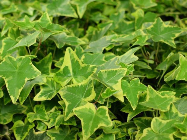 комнатное растение плющ обыкновенный