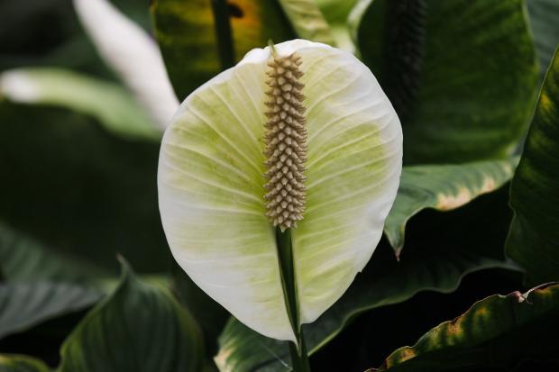 комнатное растение лилия царственная