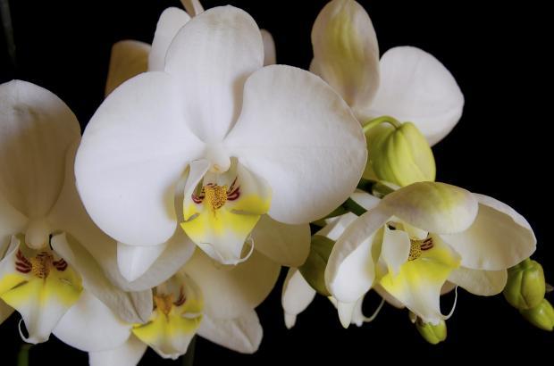 красивые белые орхидеи