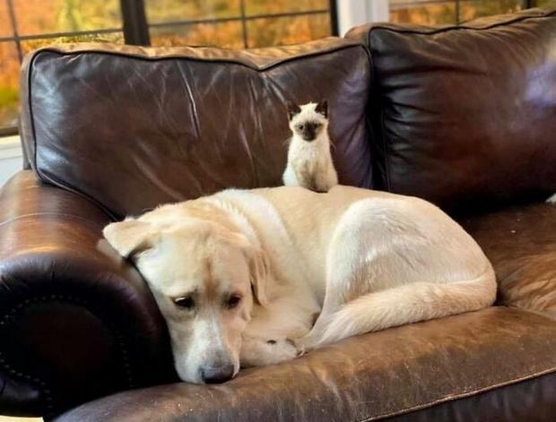 Большая собака лежит на диване а маленький котенок сиди на ее боку