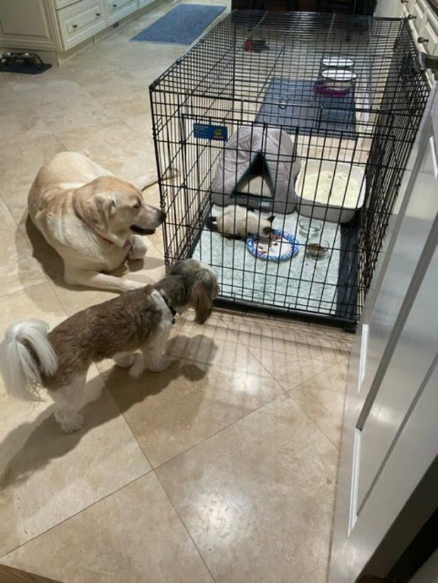 Собаки сидят возле клетки с котенком