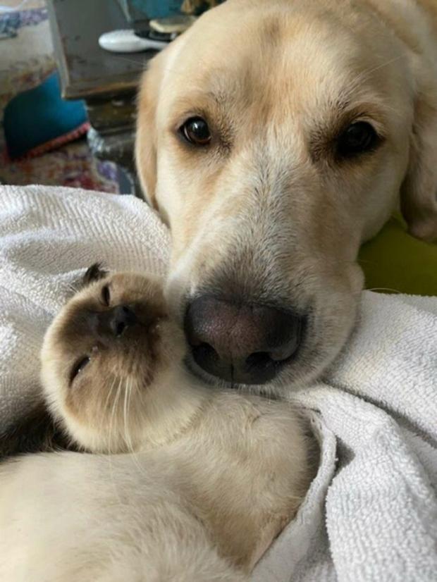 маленький котенок и большая собака