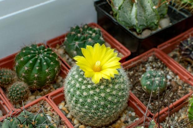 желтый цветок кактуса