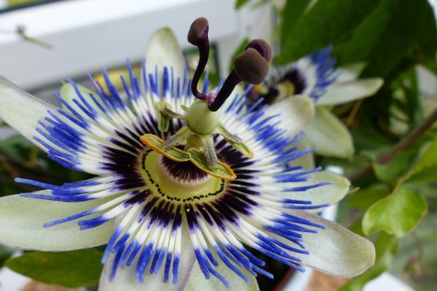 голубой комнатный цветок