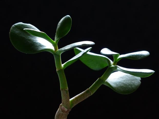 растет денежное дерево