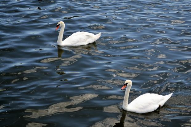 два лебедя плывут по воде