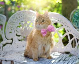 Самые большие в мире породы кошек могут достигать в весе 15 килограммов