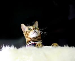 Идеальные кошки для детей и аллергиков: 7 пород не оставляющих шерсти