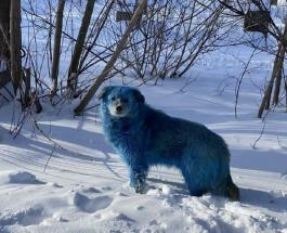 В России замечены собаки с синей шерстью: причины изменения окраса у животных