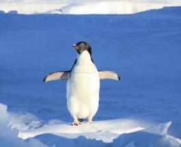 Фото уникального желтого пингвина найденного в Южной Атлантике стали вирусными в сети