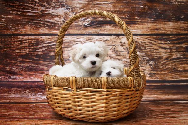 белые щенки сидят в плетеной корзинке с высокой ручкой