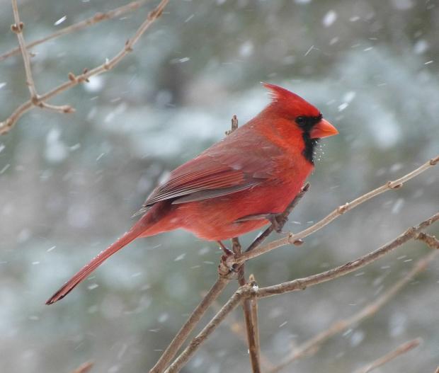 птица кардинал сидит на зимней ветке