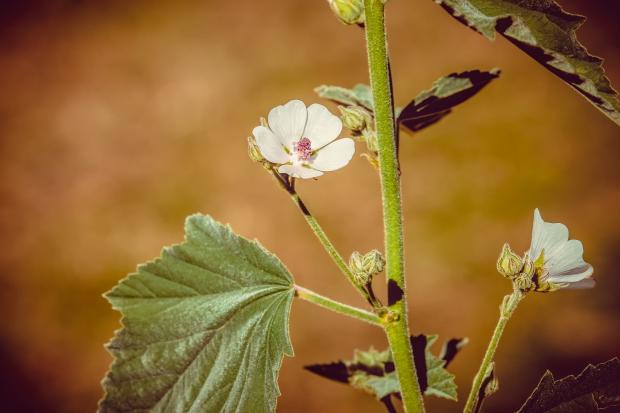 цветок алтея
